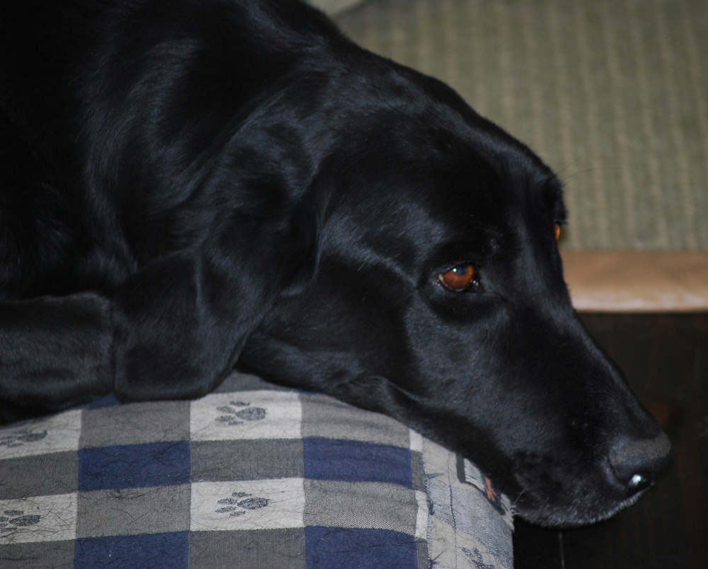 Black lab on the couch
