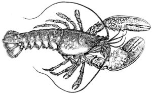 Pacific Spiny Lobster